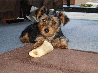 Miniatureyorkiepuppy