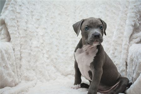 Perfect Qulaity Pitbull Puppies