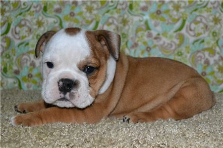 EnglishBulldogsforRehoming