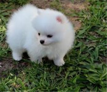 Tiny Pomeranian puppy