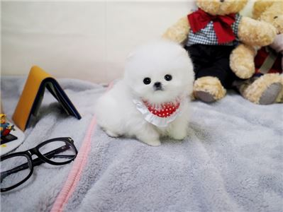 ~ Gorgeous White Male Micro Teacup Pom Available.