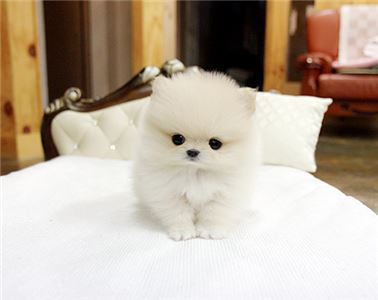 ~Adorable Micro Tiny Teacup Pom Puppy Available- 8