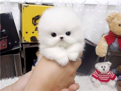 AdorableMicroPomPuppiesAvailable--