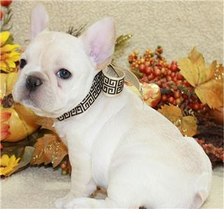 CuteFrenchbulldogpuppiesreadytogonowTEXT