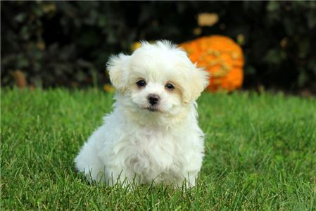 Maltese puppies for homes (972) 694-5701