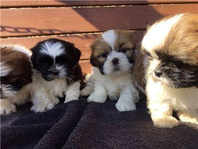 GorgeousShih-Tzupuppiesavailable