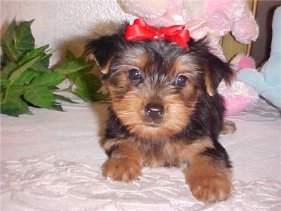 CuteAffectionateYorkiePuppiesForAdoptionMale