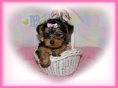 TeaCupYorkiepuppyforFreeAdoptioncasandrake
