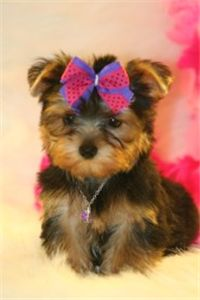 hi am jessy a yorkie puppy seeking for a new home
