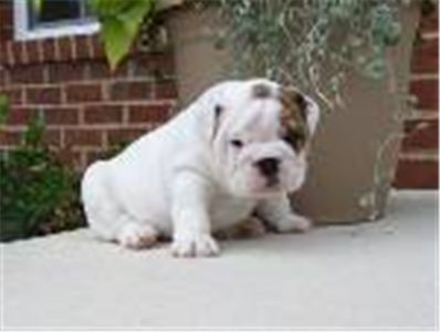 LovelyEnglishBulldogpupAKC