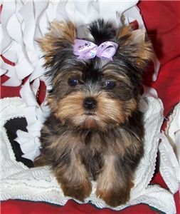 TeaCupYorkiesForFreeAdoption
