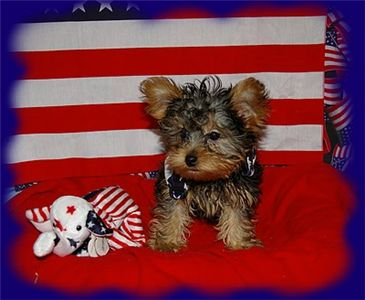 TeacupYorkiePuppyforFreeAdoptionnathania