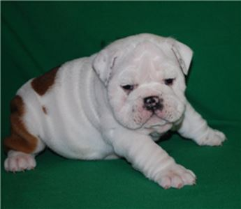 Bulldog Puppies for sale now