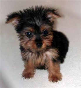 Maleandfemaleteacupyorkiepuppiesforadoption