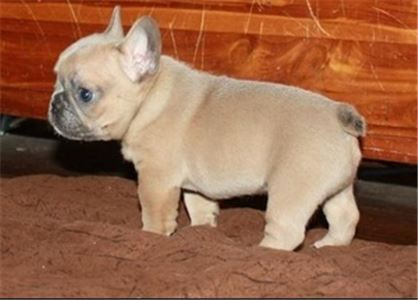 julo the french bulldog for you