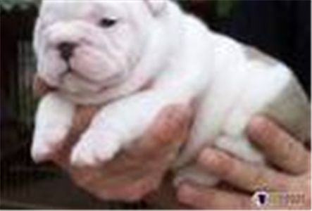 lookingforbulldogpuppies