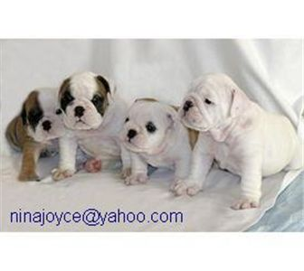 free cute english bulldog puppies for adoption
