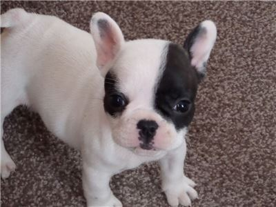 French Bulldog 336x 618 x7694