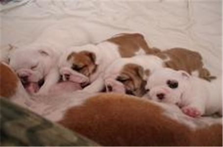 freelovelyenglishbulldogpuppiesforadoption