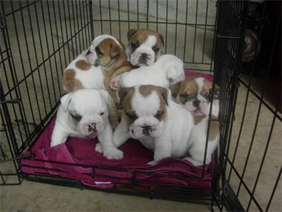 bulldogsforadoption