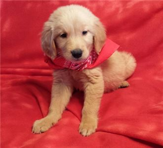Fantastic Clean Golden Retriever Puppies