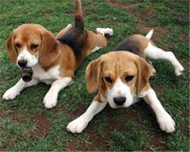English Foxhound Puppies for sale 336x 618 x7694