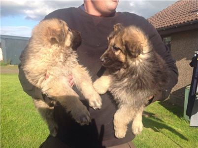 GermanShepherdpuppies-