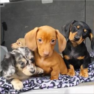 Dachshund Puppies for sale (214) 307-4892