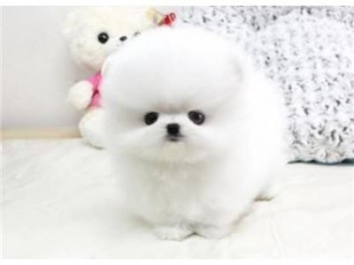 CutePomeranianPuppies