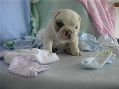 adorableweeksbulldogsbabiesforadoption