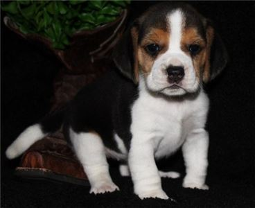 Tukoae Beagle Puppies