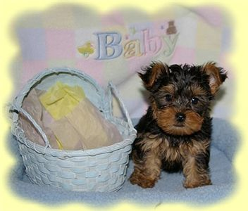 outstandingyorkiepuppyforfreeadoptioncharit