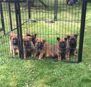GermanShepherdpuppieslarabaguegmailcom