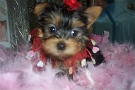 cuteyorkiepuppiesforfreeadoption