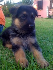 akc german shepherd
