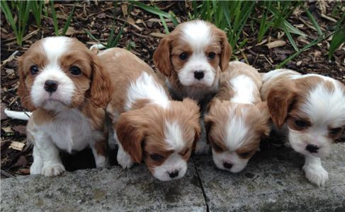 StunningAKcRegisteredPedigreePuppies