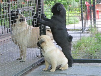 Pug Puppies vaccinatons/dewormings adoption