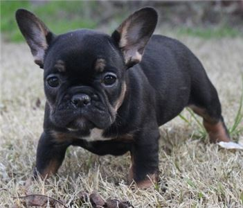RareColoredFrenchbulldogPuppiesforadoption