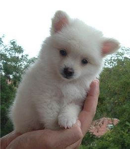 Pomeranianpuppies
