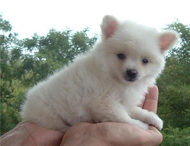 Pomeranian puppies 2