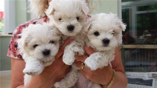 Maltesepuppies