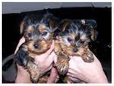 maleandfemaleyorkiepuppiesforfreeadoption