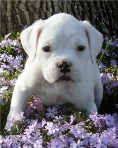 whiteboxerpuppiesnowreadytojoinanewfamily