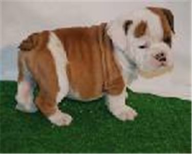 adorable english bull puppies ready for good homes