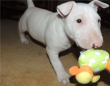 Nice and Healthy Bull Terrier Puppies Available