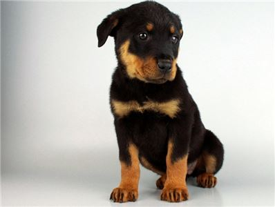 Super Rottweilers Puppies
