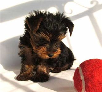maleandfemaleyorkiepuppiesforadoption