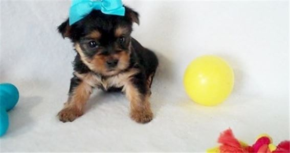 Good Looking Yorkshire Terriers Puppies