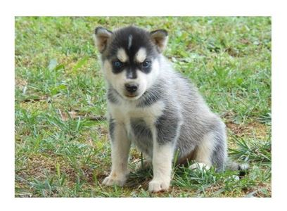 hgbyub Siberian Huskies available now