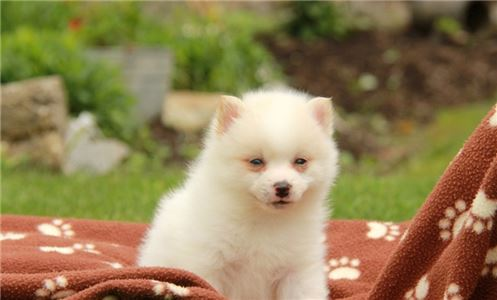 Mix breed Pomeranian and Husky.. Pomsky For adopti
